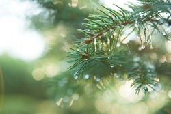 Blue Spruce with drops of dew, close up