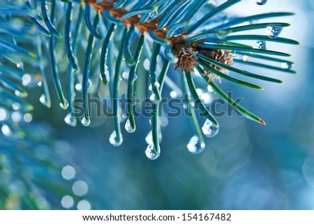 Blue Spruce With Drops Of Water, Macro