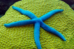 Blue starfish on hard coral Diploastrea heliopara. The coral is yellow-green, and the tentacles of the polyps, hidden between the calcium plates are blue. Philippines.