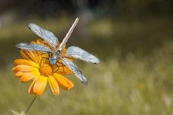 Blue steampunk dragonfly sits on orange marigold flower