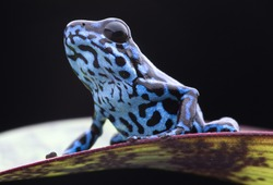 Blue strawberry poison dart frog, Dendrobates pumilio Colubre from the tropical rain forest of Panama. A beautiful small rainforest animal sitting on a leaf. Poisonous amphibian of the jungle.