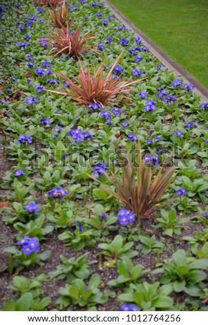Blue Streptocarpus Listy Zdjęcia stock ©