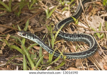 Blue-Striped Garter Snake Stock Photo 13016590 : Shutte
