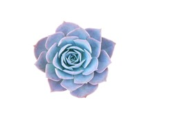 Blue Succulent isolated white background with clipping path , Succulent echeveria plant - Blue nature object , Floral backdrop and beautiful detail