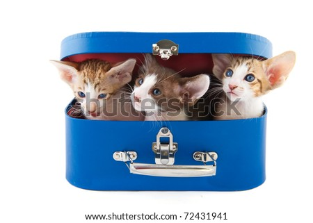 Blue suitcase with little kitten cats on white background - stock photo