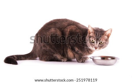 Blue tabby cat resting next to her food bowl, on white #251978119