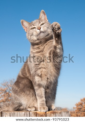 Blue tabby cat with her paw in the air against blue sky