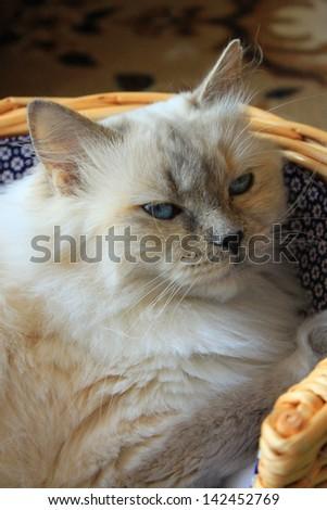 blue tabby colour point ragdoll