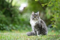blue tabby maine coon cat sitting outdoors in nature on grass observing the garden