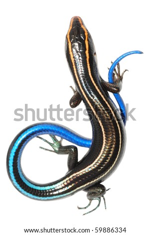 blue tail skink lizard isolated ...