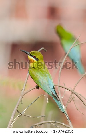 Blue-tailed bee-eater #170742836