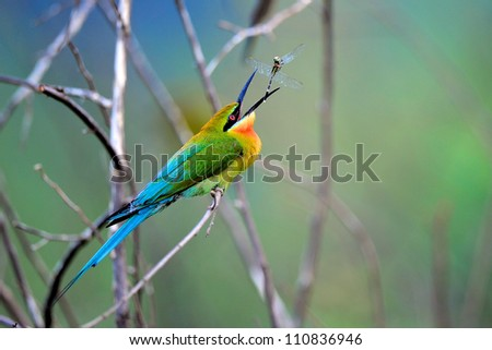 Blue Tailed Bee Eater bird of Thailand #110836946