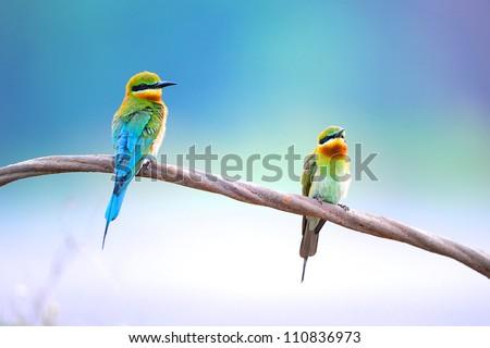 Blue Tailed Bee Eater bird of Thailand sitting on tree limb