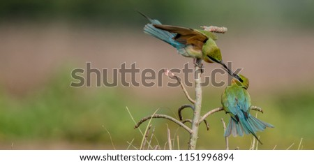 Blue Tailed Bee Eater in flight,with kill,sand bath #1151996894