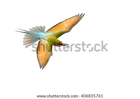 Blue-Tailed Bee Eater (Merops philippensis) bird flying on white background.