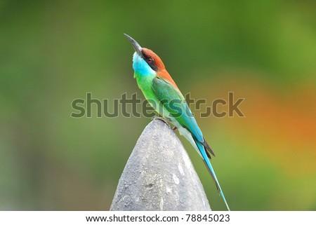 blue tailed bird #78845023