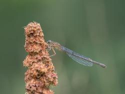 Blue-tailed Damselfly, female, Ischnura elegans, rufescens-obsoleta coloration. Beige and blue-ish.