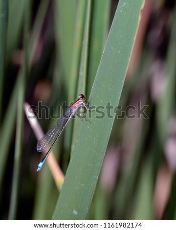 Blue-tailed Damselfly - Ischnura elegans, Crete  #1161982174