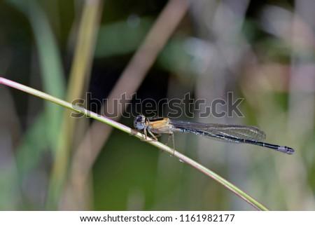 Blue-tailed Damselfly - Ischnura elegans, Crete  #1161982177