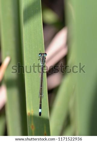 Blue-tailed Damselfly - Ischnura elegans, Crete  #1171522936