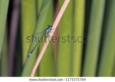 Blue-tailed Damselfly - Ischnura elegans, Crete  #1171571764