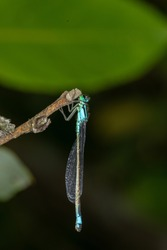 Blue-tailed damselfly sitting on a branch. Blue dragonfly macro photography on a dark green background.