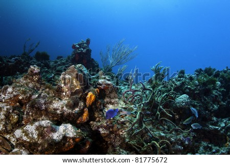 Blue tang and immature queen parrot fish swiming near rope coral.