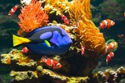 Blue tang fish, percula clownfishes and cay