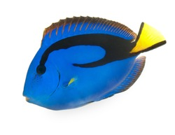 blue tang , marine coral fish isolated on white background