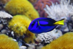 Blue tang (Paracanthurus hepatus), a number of common names are attributed to the species, including  Palette surgeonfish, Regal tang