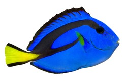 Blue Tang, Regal Tang isolated on white background. (Paracanthurus Hepatus)