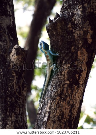 Stock Photo Blue Thai Chameleon on tree with green background