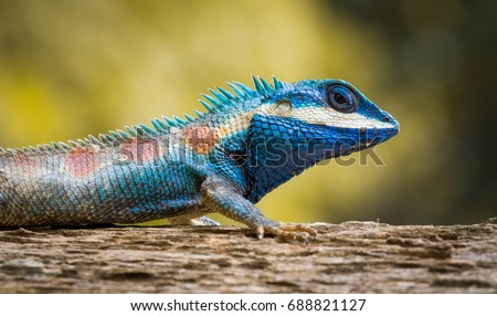 Stock Photo Blue Thai Chameleon on tree with yellow background