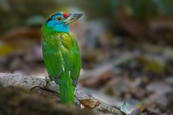 Blue-throated barbet bird on branch in nature