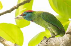 Blue throated barbet sitting on a perch