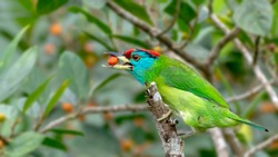 Blue-throated Barbet with food in the morning light.