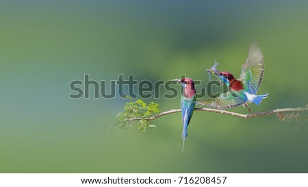 Blue-throated Bee-eater #716208457