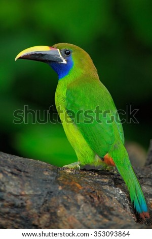 Blue-throated Toucanet, Aulacorhynchus prasinus, green toucan bird in the nature habitat, exotic animal in tropical forest, Panama