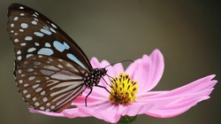 blue tiger butterfly or tirumala limniace is sucking nectar from cosmos flower in a butterfly garden, west bengal, india