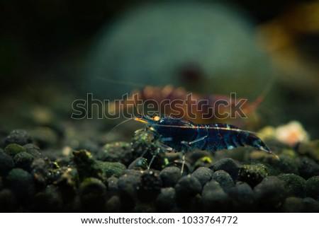 Blue tiger caridina freshwater aquarium shrimp #1033764772