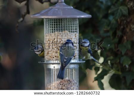 Blue tit at a birds feeding station #1282660732