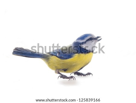 blue tit bird isolated on white; during winter period.