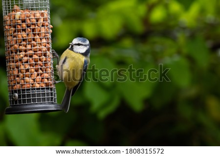 Blue tit (Cyanistes caeruleus) on a bird feeder with copy space ストックフォト ©