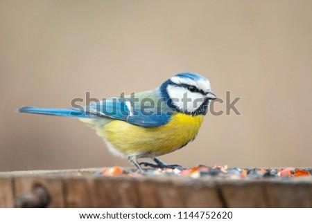 Blue tit (Cyanistes caeruleus) sitting on a stump.