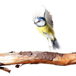 blue tit flying up from a branch, on white