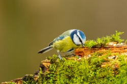 Blue tit in winter, (Scientific name: Cyanistes Caeruleus) perching on moss covered log foraging for seeds, nuts and dried mealworms.  Facing right.  Clean background. Horizontal.  Space for copy.