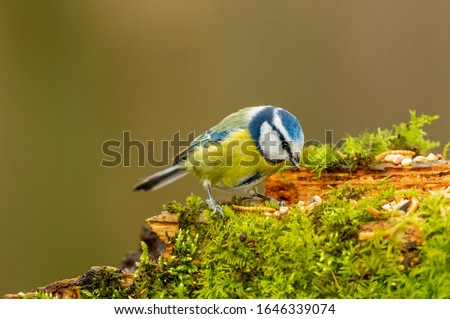 Photo of  Blue tit in winter, (Scientific name: Cyanistes Caeruleus) perching on moss covered log foraging for seeds, nuts and dried mealworms.  Facing right.  Clean background. Horizontal.  Space for copy.