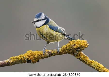 Blue tit looking for food. A beautiful blue tit surveys the scene from its lofty perch on a lichen covered branch.