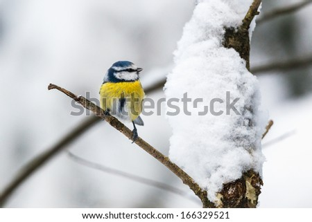 Blue Tit on a branch in winter forest