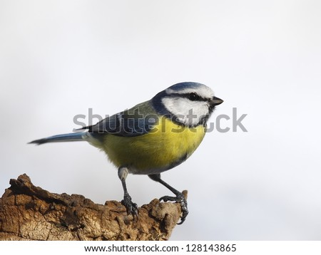 Blue tit on a log isolated